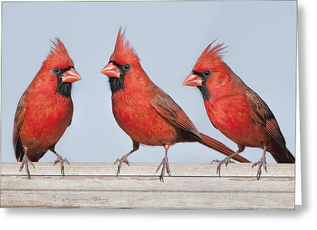 Male Northern Cardinal Greeting Cards - Bright Trio Greeting Card by Bonnie Barry