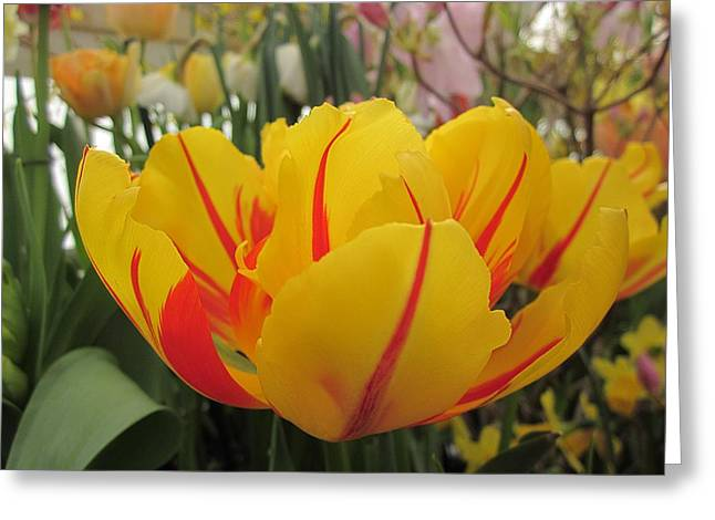 Spring Bulbs Greeting Cards - Bright Tulip Greeting Card by MTBobbins Photography
