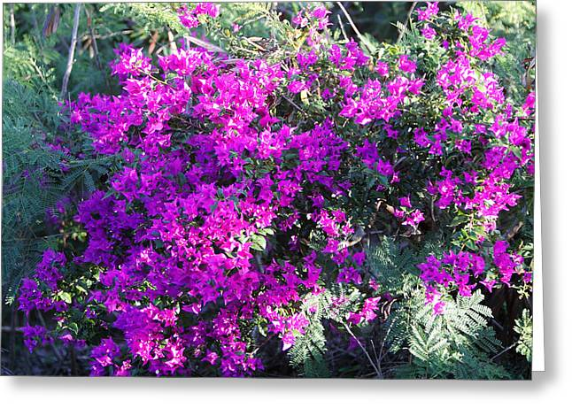 Flower Blossom Greeting Cards - Bright Violet Boganvia Blossoms Greeting Card by Linda Phelps