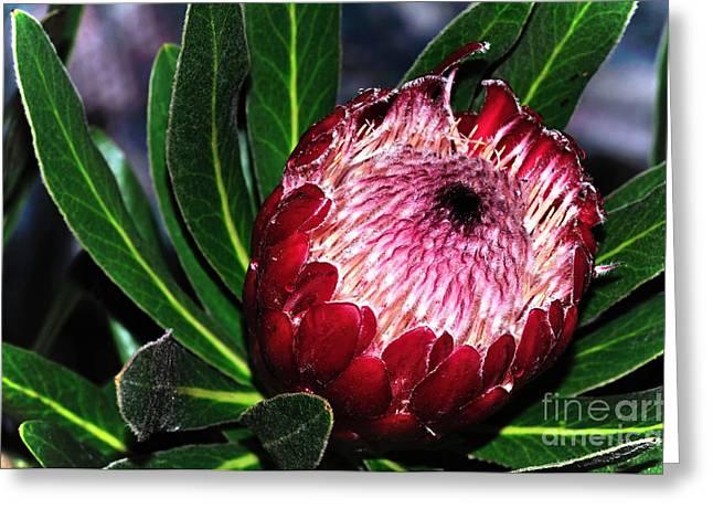 Kaye Menner Floral Greeting Cards - BrightnHappy Protea Greeting Card by Kaye Menner
