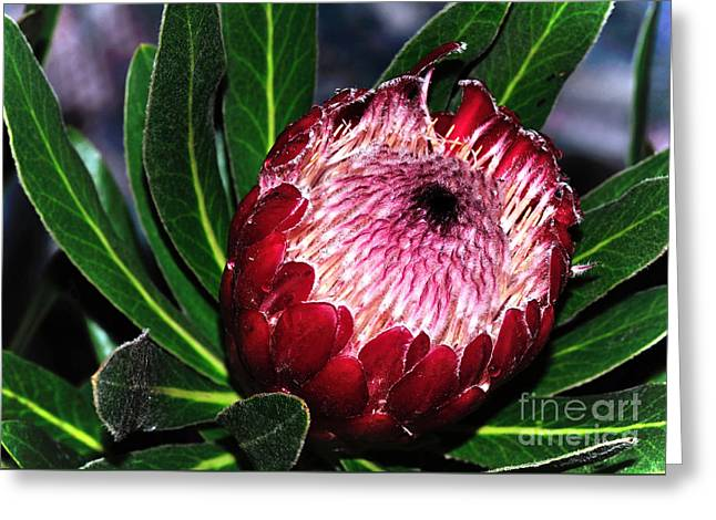 Bright'n'happy Protea Greeting Card by Kaye Menner