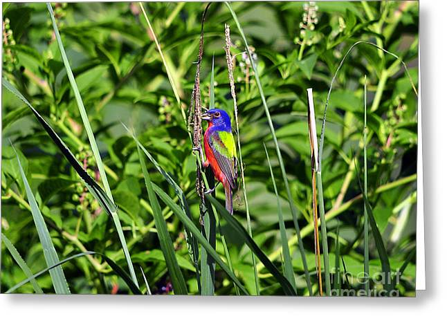 Feeding Birds Greeting Cards - Brilliant Bunting Greeting Card by Al Powell Photography USA