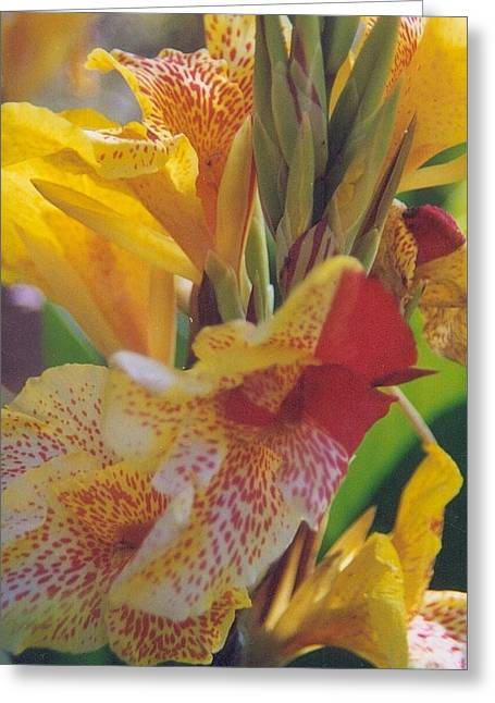 Robert Bray Greeting Cards - Brilliant Canna Lilies Greeting Card by Robert Bray