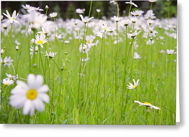 Medium Flowers Greeting Cards - Brilliant Daisies Greeting Card by Aaron Aldrich