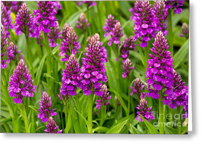 Orchis Greeting Cards - Brilliant Purple Madeiran Orchids Greeting Card by Louise Heusinkveld
