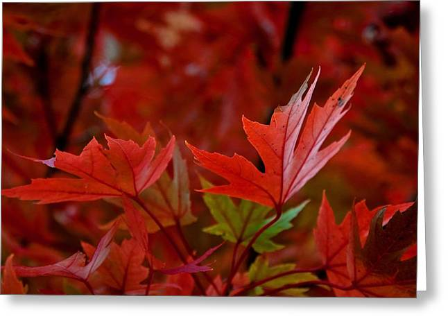 Arkansas Greeting Cards - Brilliant Red Maples Greeting Card by Linda Unger