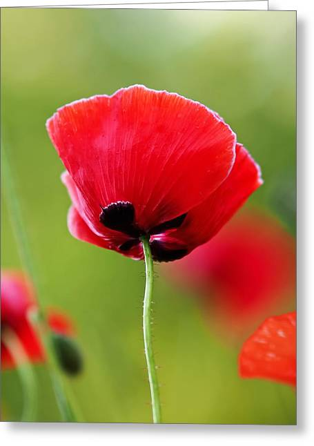 Oriental Poppy Greeting Cards - Brilliant Red Poppy Flower Greeting Card by Rona Black