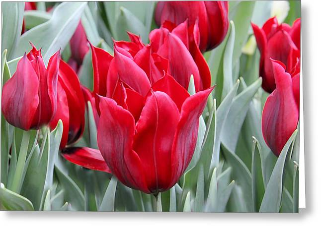 Red And Green Photographs Greeting Cards - Brilliant Red Tulips in the Garden Greeting Card by Jennie Marie Schell