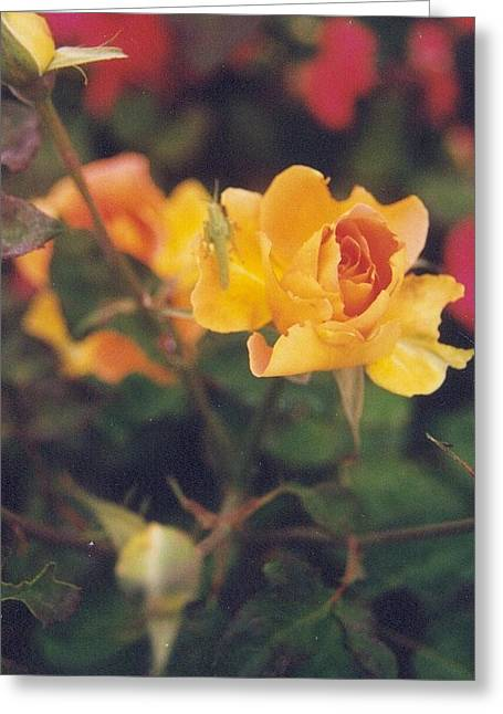 Robert Bray Greeting Cards - Brilliant Yellow Rose Greeting Card by Robert Bray