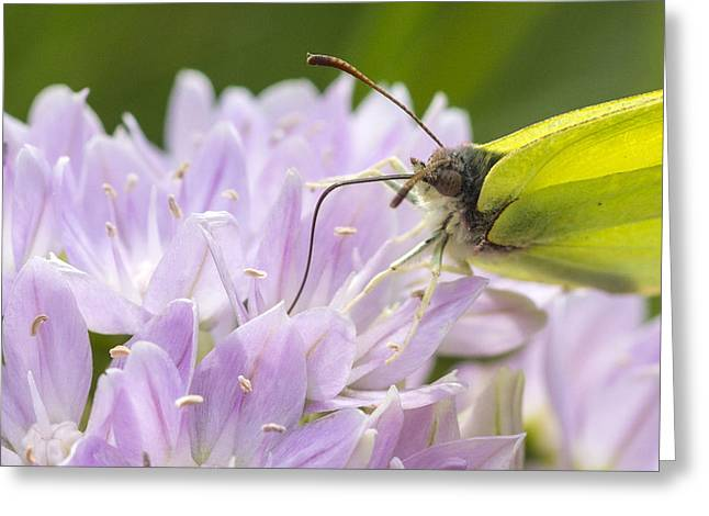 Brimstone Butterfly Greeting Card by Chris Smith