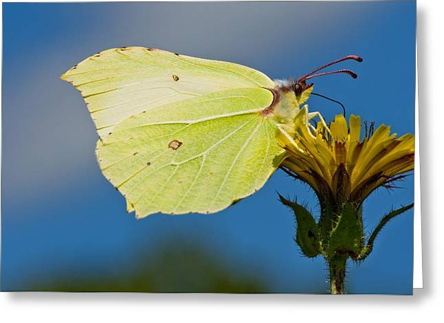 Eating Entomology Greeting Cards - Brimstone butterfly Greeting Card by Science Photo Library