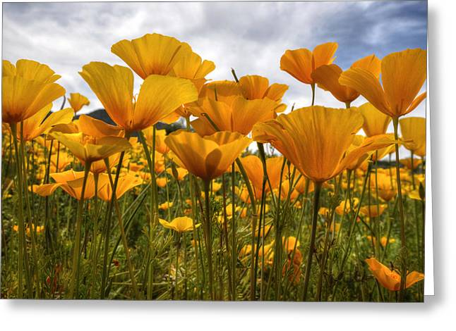 Golden Poppies Greeting Cards - Bring on the Poppies Greeting Card by Saija  Lehtonen