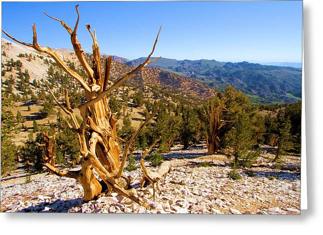Oldest Living Tree Greeting Cards - Bristlecone Landscape Greeting Card by Adam Jewell