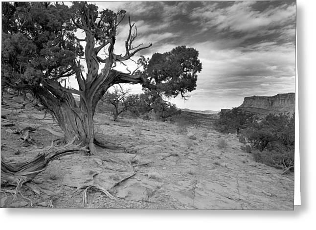 Cslanec Greeting Cards - Bristlecone Pine Canyonlands Utah Greeting Card by Christian Slanec