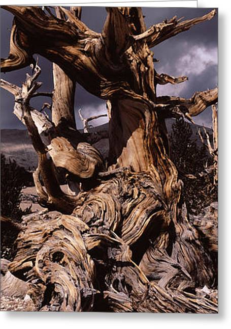 Tree Roots Greeting Cards - Bristlecone Pine Tree Pinus Longaeva Greeting Card by Panoramic Images