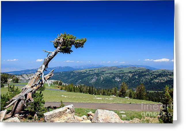 Haybale Greeting Cards - Bristlecone Survivor Greeting Card by Robert Bales