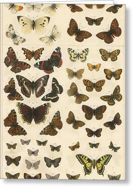 Butterflies Drawings Greeting Cards - British Butterflies Greeting Card by English School