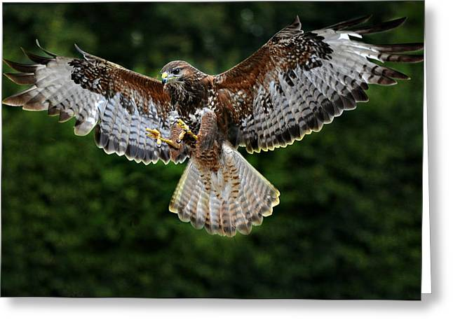 Swooping Greeting Cards - British Buzzard Wings Spread Greeting Card by Bev  Brown