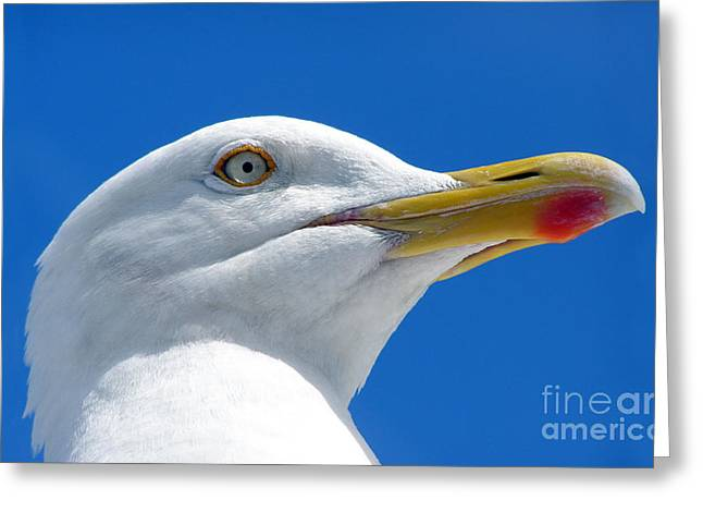 Beady Eyes Greeting Cards - British Herring Gull Greeting Card by Terri  Waters