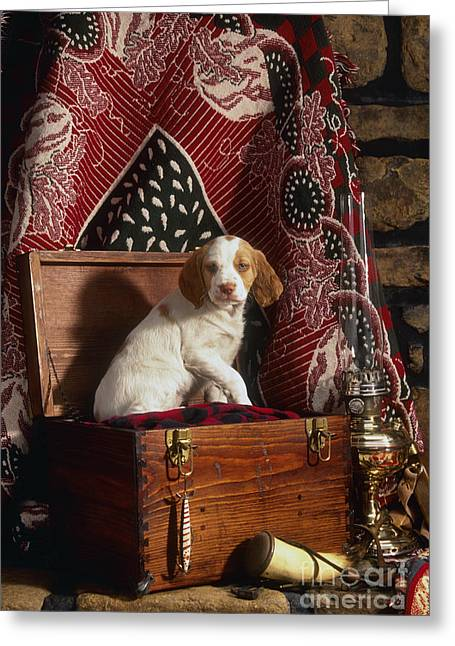 Hurricane Lamp Greeting Cards - Brittany Pup - FS000048 Greeting Card by Daniel Dempster