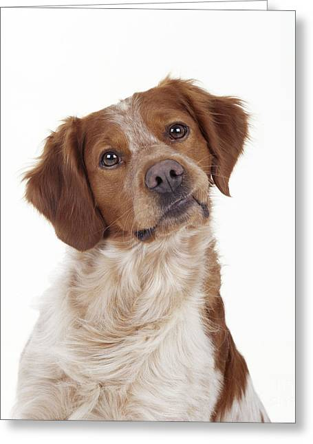 Talking Dog Greeting Cards - Brittany Spaniel Or Epagneul Breton Greeting Card by John Daniels