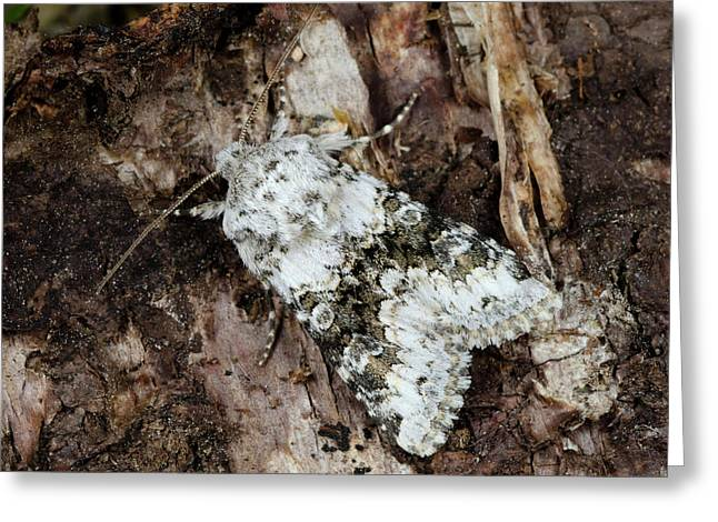 Broad-barred White Moth Greeting Card by Nigel Downer