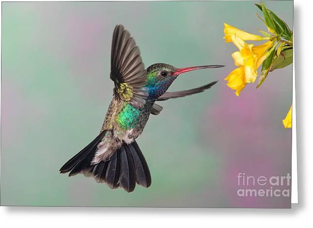 Broad-billed Hummingbird Greeting Card by Jim Zipp