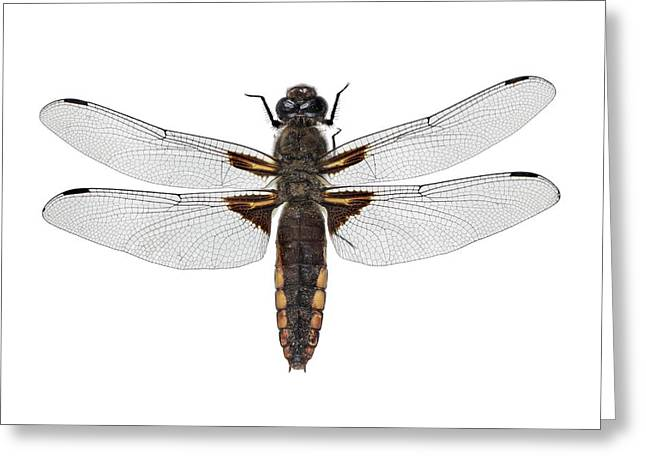 Broad-bodied Chaser Dragonfly Greeting Card by F. Martinez Clavel