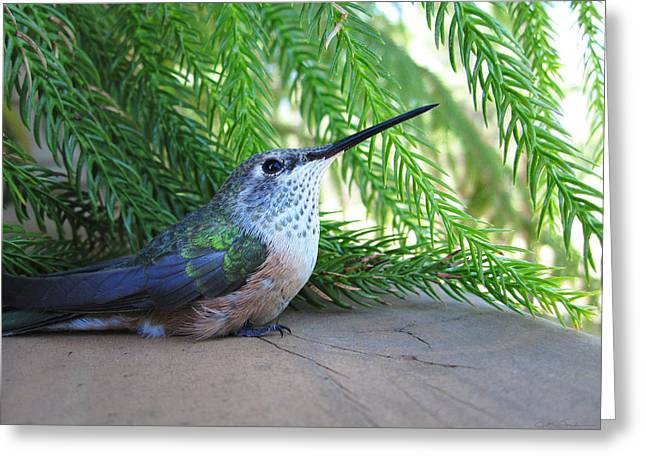 Julie Magers Soulen Greeting Cards - Broad-Tailed Hummingbird at Rest Greeting Card by Julie Magers Soulen