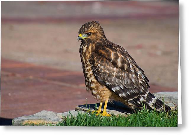 Predator Bird Greeting Cards - Broad Winged Hawk Greeting Card by Martina Thompson