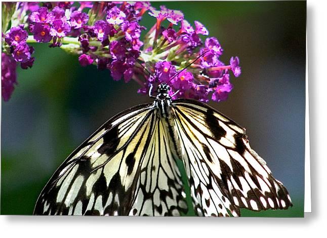 Vlinder Greeting Cards - Broken Wing of Black and White on Purple Greeting Card by Karen Stephenson