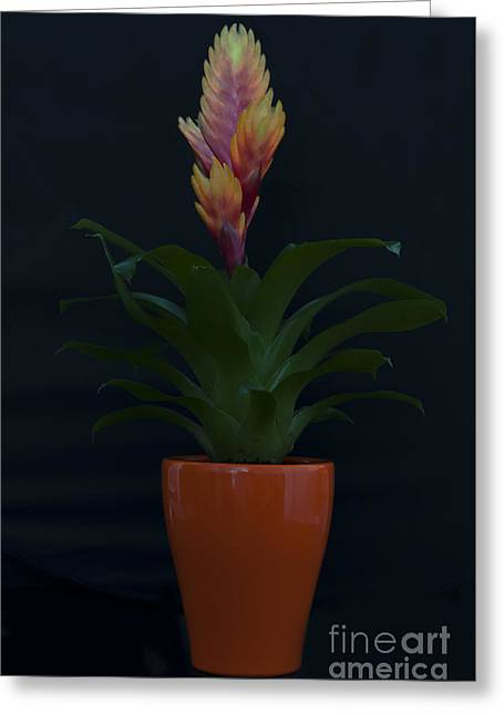 Bromeliad Greeting Cards - Bromeliad 1 Greeting Card by Steve Purnell