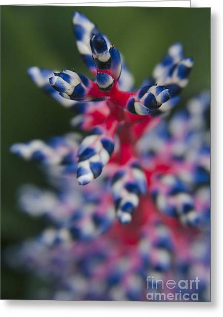 Aechmea Greeting Cards - Bromeliad - Aechmia dichlamydea - Guzmania Lingulata Greeting Card by Sharon Mau
