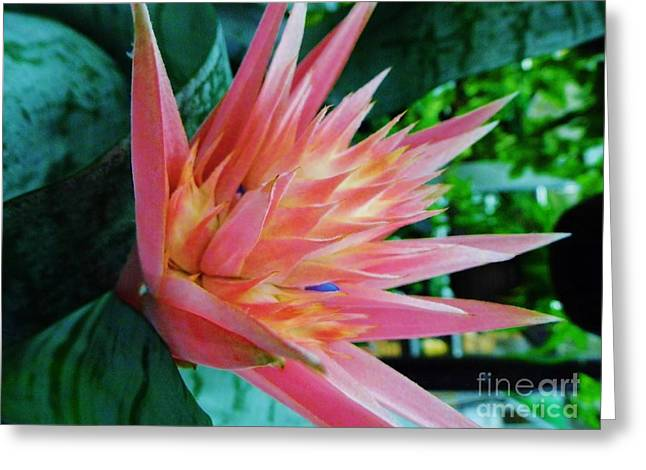Bromeliad Greeting Cards - Bromeliad Beauty Greeting Card by D Hackett