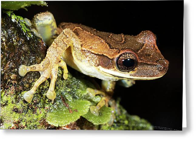 Bromeliad Treefrog Greeting Card by Dr Morley Read