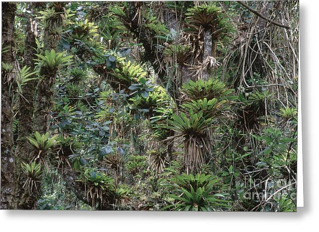 Epiphyte Greeting Cards - Bromeliads And Other Epiphytes Greeting Card by Art Wolfe