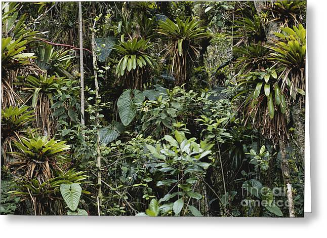 Bromeliad Photographs Greeting Cards - Bromeliads In Colombia Greeting Card by Art Wolfe