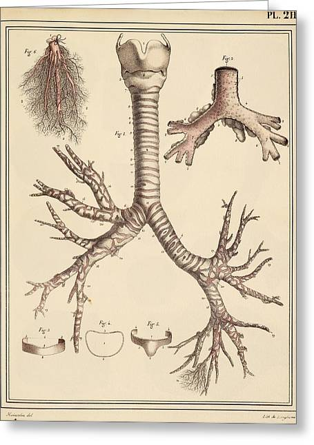 Airways Greeting Cards - Bronchial lung anatomy, 1825 artwork Greeting Card by Science Photo Library