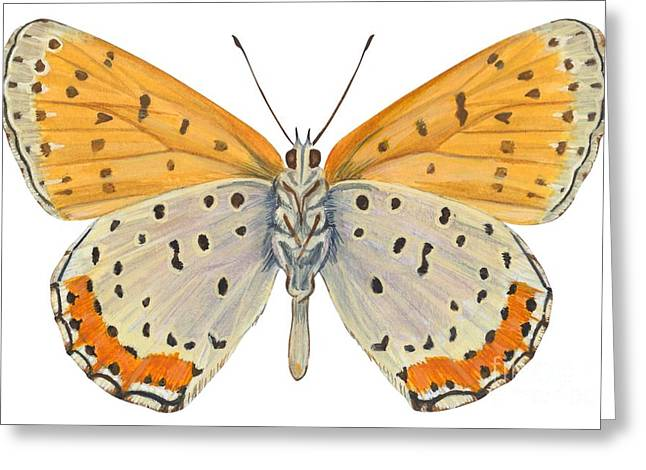 White Background Drawings Greeting Cards - Bronze copper butterfly Greeting Card by Anonymous