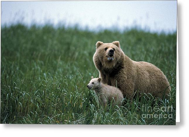 Mother And Young Greeting Cards - Brown Bear And Cub Greeting Card by Mark Newman