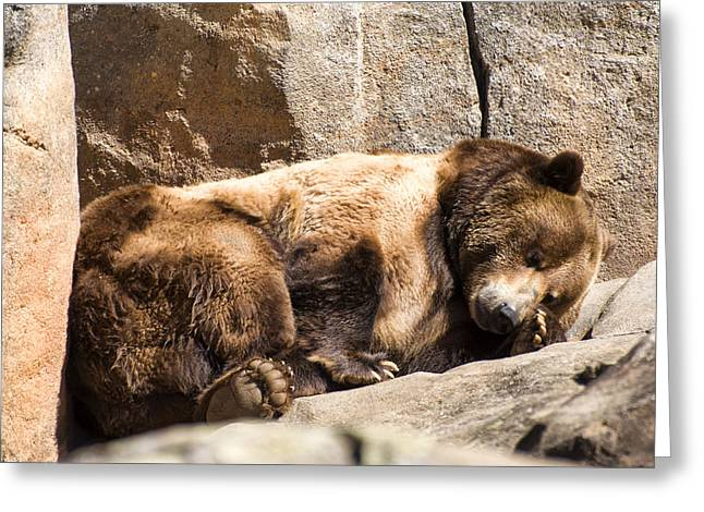 Print On Canvas Greeting Cards - Brown bear asleep again Greeting Card by Chris Flees