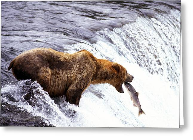 Brown Bear Catching Salmon Greeting Card by Mark Newman
