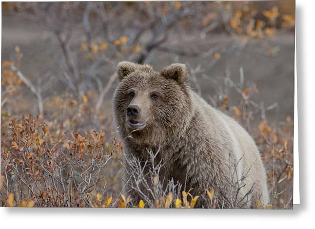 The Big One Greeting Cards - Brown Bear Greeting Card by Cathy Hart