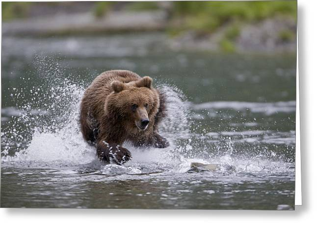 Prince William Sound Greeting Cards - Brown Bear Chases Salmon In A Shallow Greeting Card by Milo Burcham