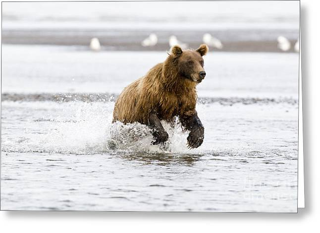 Ursidae Greeting Cards - Brown Bear Chasing Salmon Greeting Card by William H. Mullins
