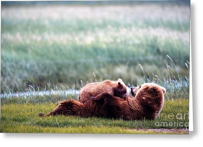 American Brown Bear Greeting Cards - Brown Bear Cub Nursing Ursus Arctos Greeting Card by Mark Newman