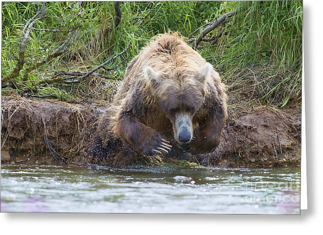 Brown Bear Diving Into The Water After The Salmon Greeting Card by Dan Friend