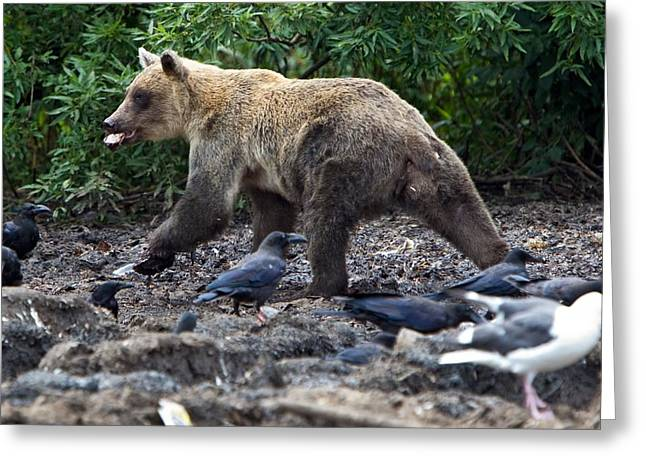 Russian Born Greeting Cards - Brown bear scavenging Greeting Card by Science Photo Library