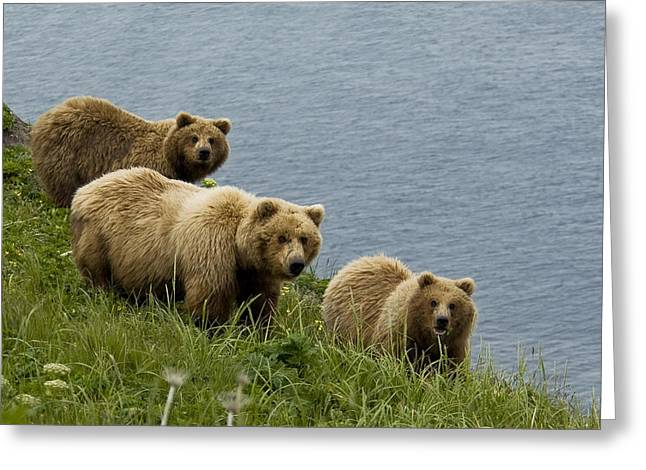 Three Bears Greeting Cards - Brown Bear Sow And Cubs Eating Sedge Greeting Card by Cathy Hart
