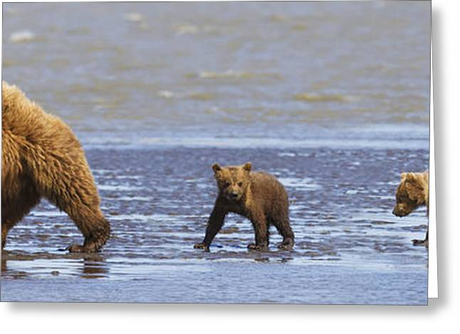 Kodiak Brown Bears Greeting Cards - Brown Bear Sow And Her Three Cubs Greeting Card by Richard Wear